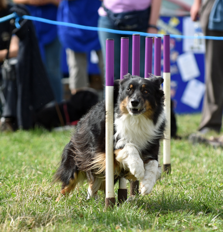 2015 show_ collie