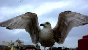 Nuisance gulls are flying the nest