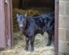 "New Calf 'Treddy"" born in Tredworth"